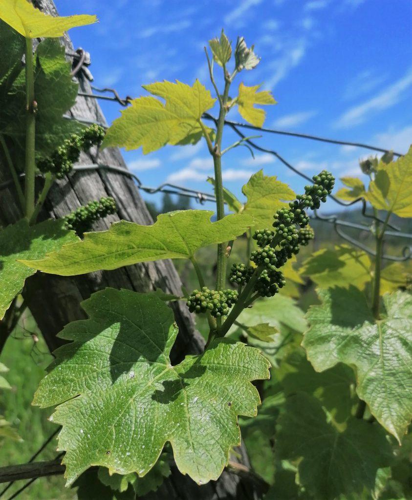 Photo vigne grappes en développement mai 2021